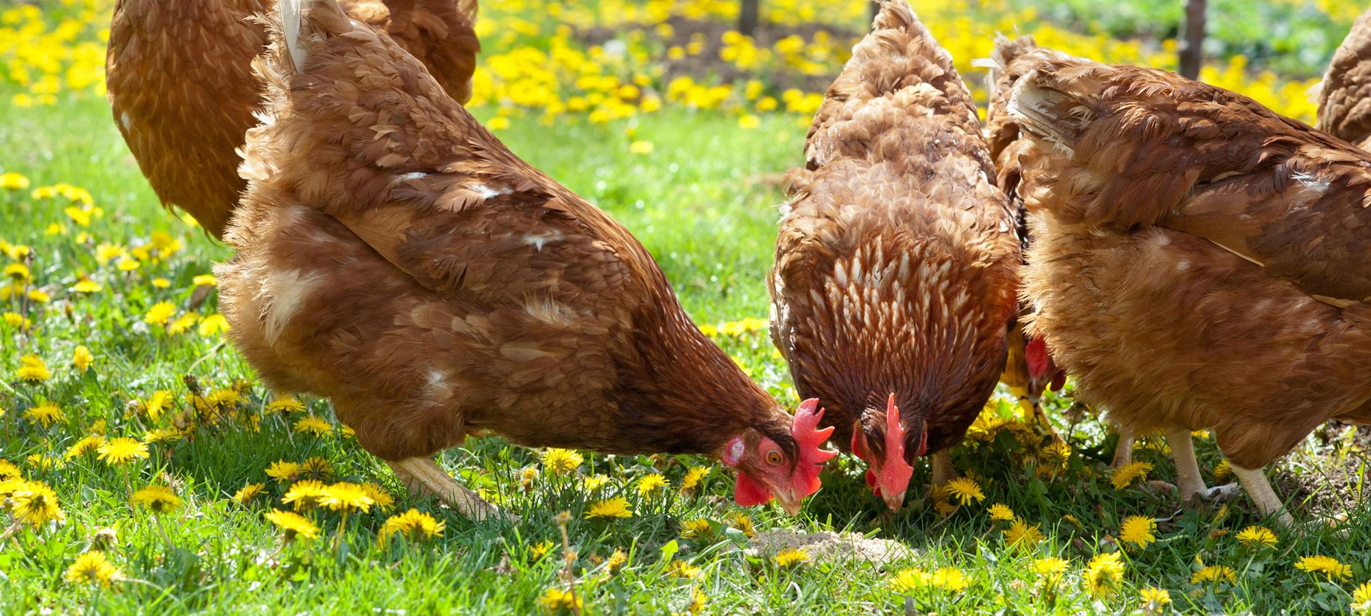Hühner auf Wiese